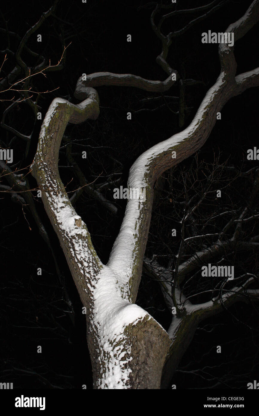 image of snow covered horse chestnut tree at night Aesculus hippocastanum - Stock Image