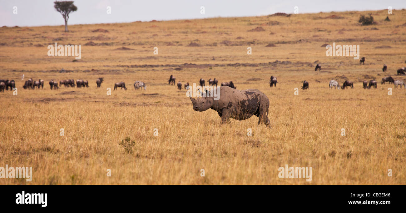 Black Rhinoceros, Masai Mara National Reserve, Kenya, East Africa - Stock Image