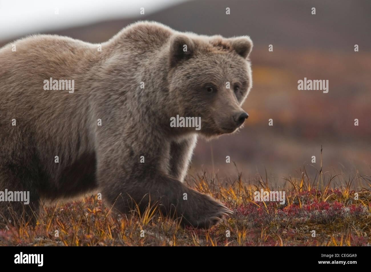 Grizzly (Ursus arctos) bear cub, Denali National Park, Alaska - Stock Image