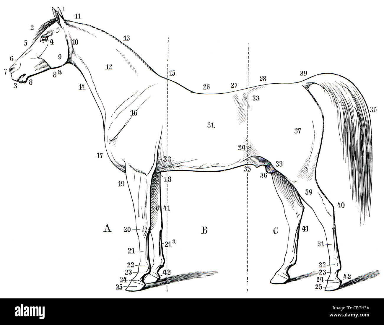 Horse External Anatomy Image collections - human body anatomy