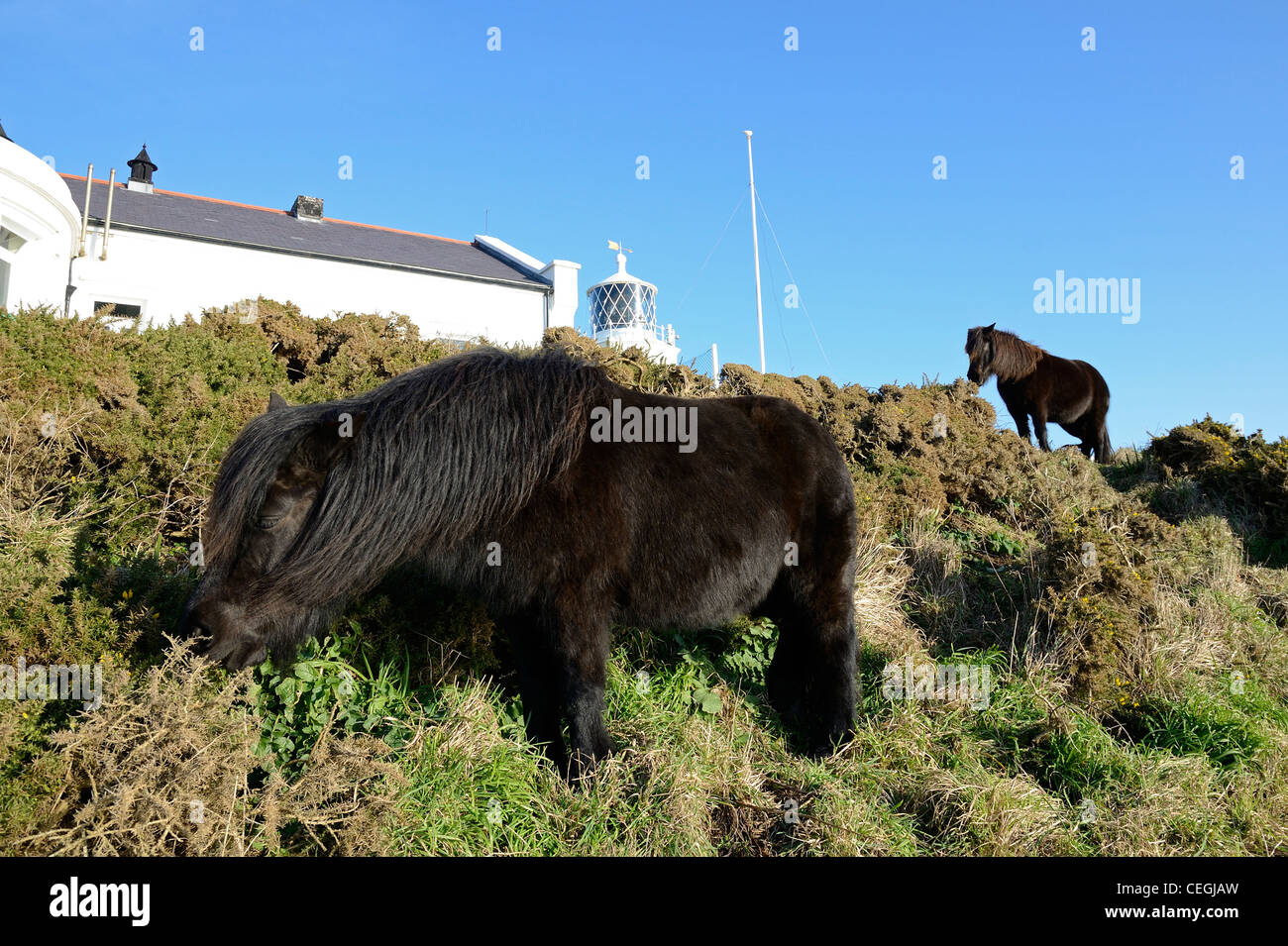 Dartmoor ponies on the Lizard peninsular in Cornwall, the ponies are used for conservation grazing, bracken and - Stock Image