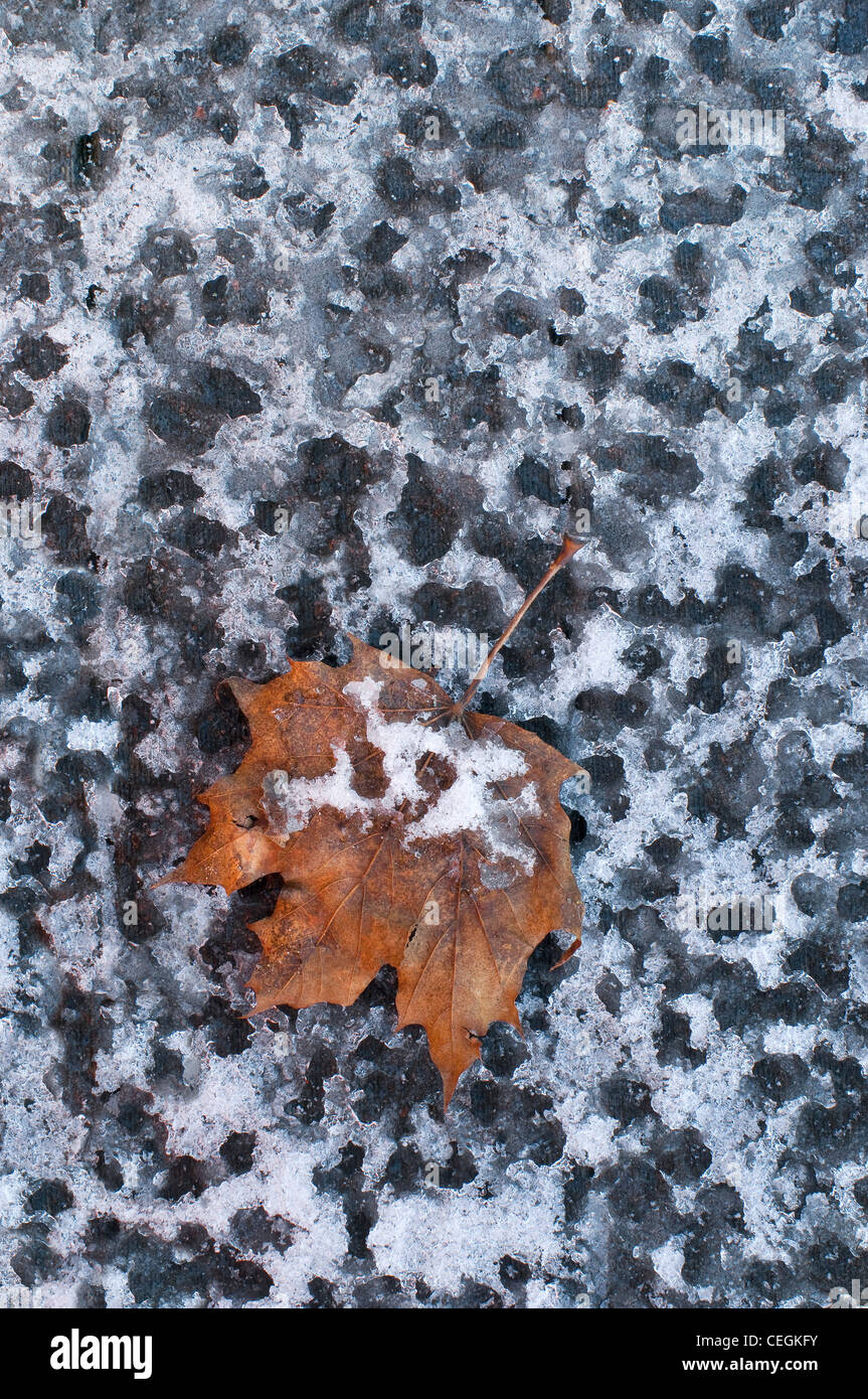 Rain drops frozen in snow, with Sugar Maple leaf Acer saccharum Eastern USA - Stock Image