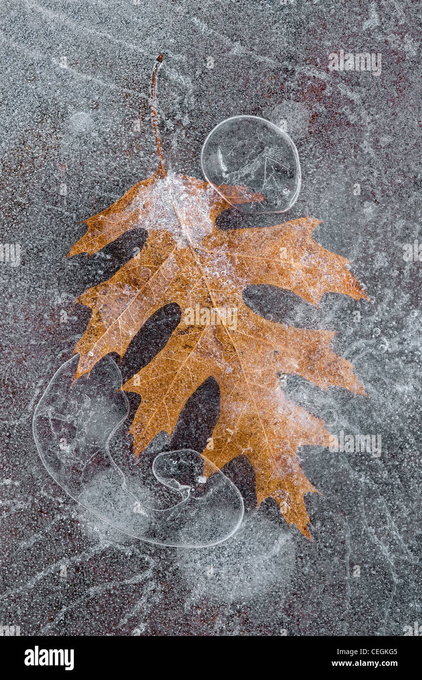 Red Oak leaf Quercus rubra and air bubbles frozen in ice Eastern USA Stock Photo