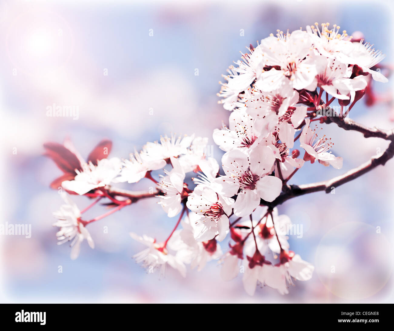 Blooming tree at spring, fresh pink flowers on the branch of fruit tree, plant blossom abstract background, seasonal Stock Photo