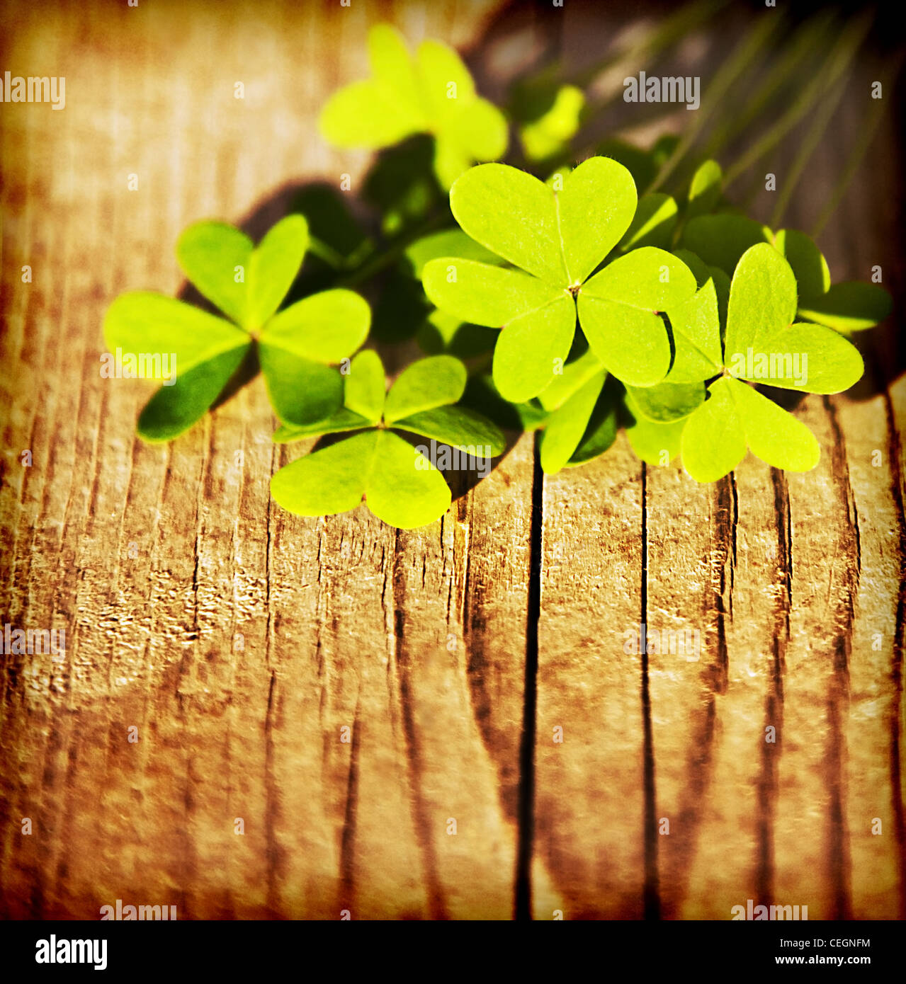 Fresh clover leaves over wooden background, green spring floral border, lucky shamrock, St.Patrick's day holiday - Stock Image