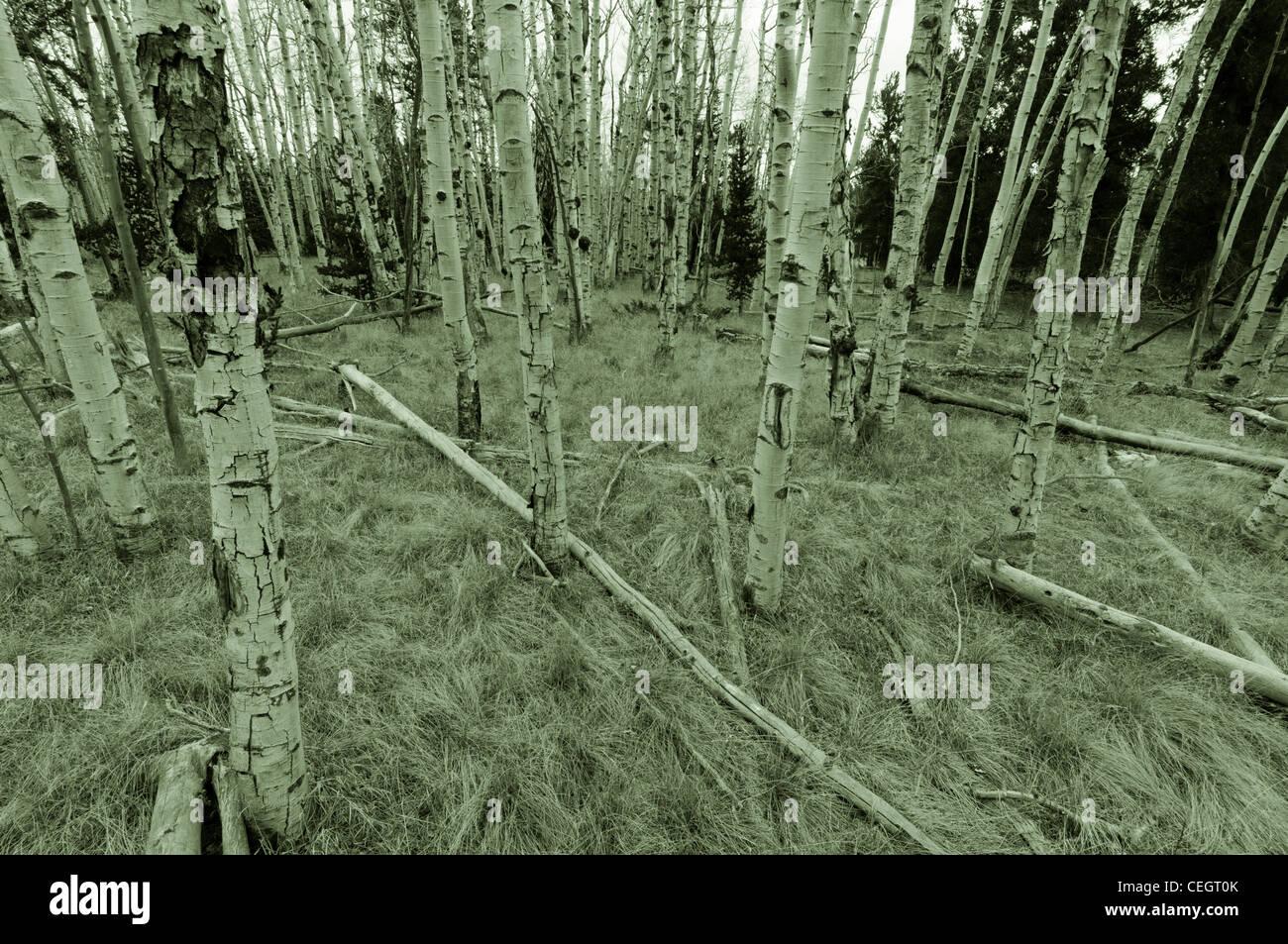Aspen Woodlands in autumn, Fairplay, Colorado - Stock Image