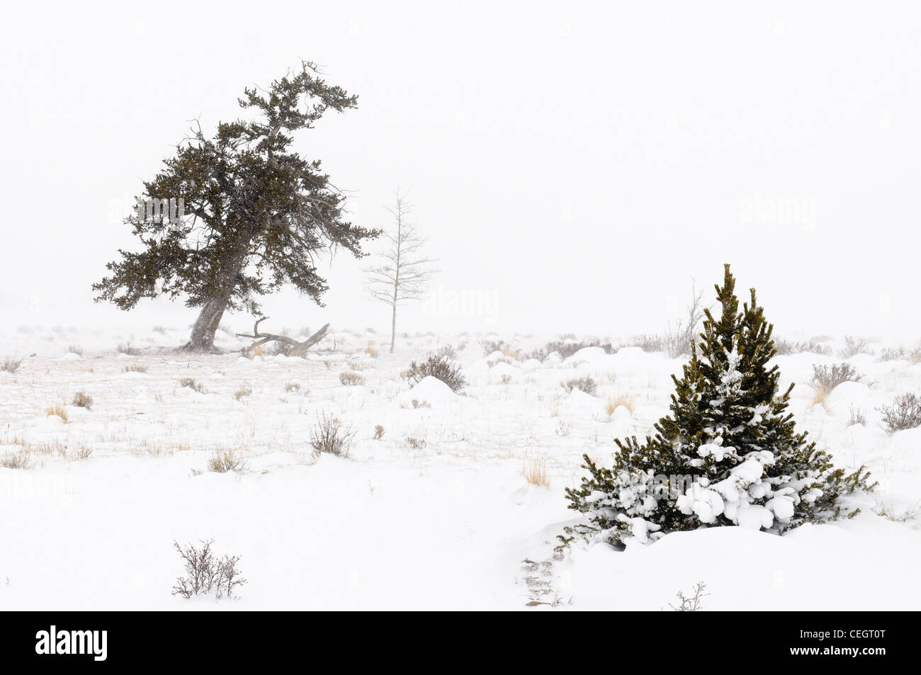 Conifer tree in snowstorm, Fairplay, Colorado - Stock Image