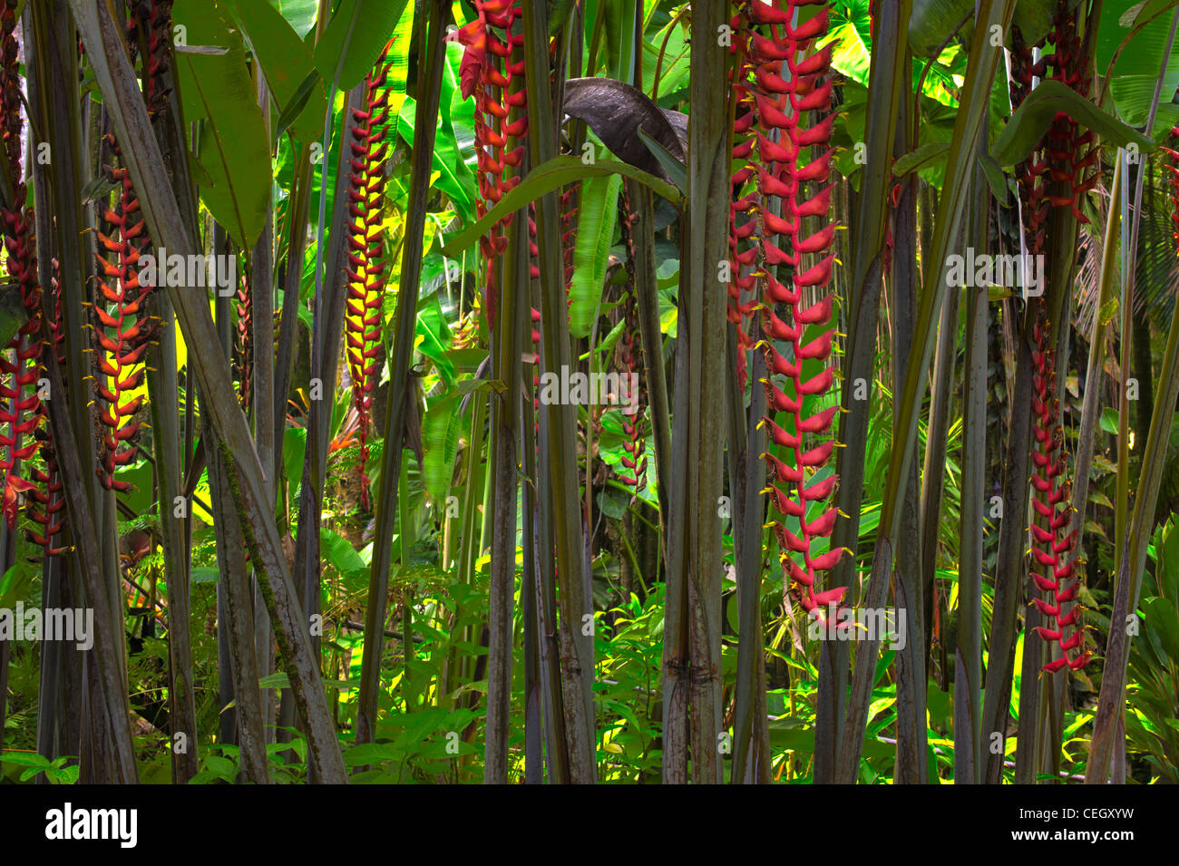 Hawaii Tropical Botanical Gardens. Heliconia longissima 'Red Wings'. Hawaii, The Big Island. - Stock Image
