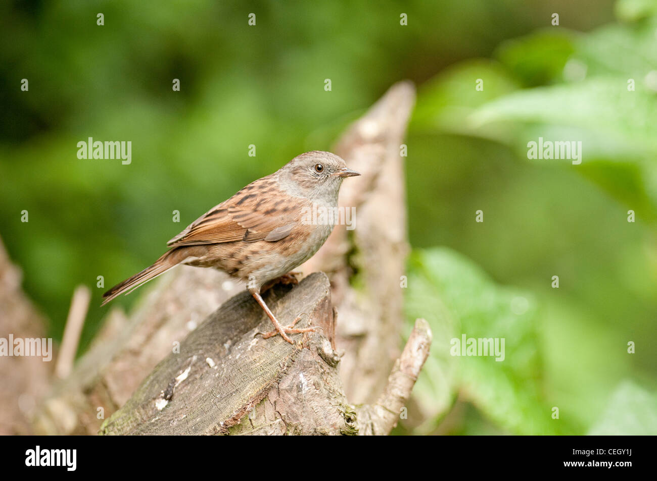 Dunnock  Prunella modularis passerines, passeriforms Grey Songbird Bird - Stock Image