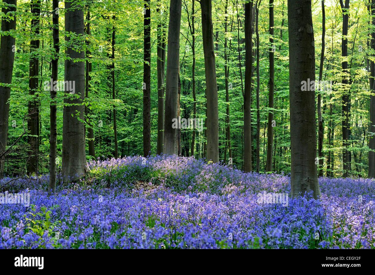 Bluebells (Endymion nonscriptus) in beech woodland (Fagus sylvatica), Hallerbos, Belgium - Stock Image