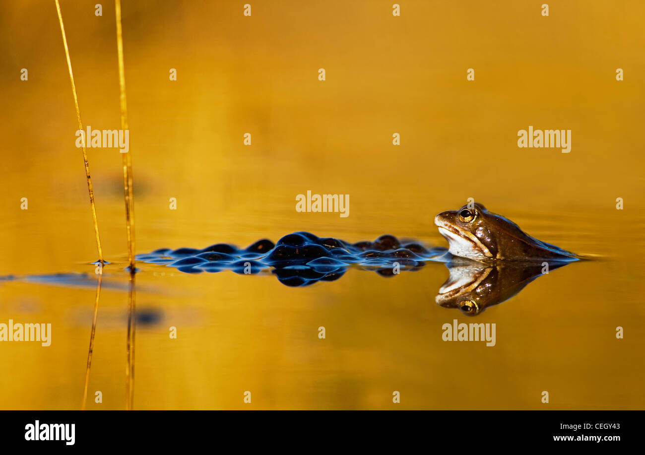 Moor Frog (Rana arvalis) and frogspawn floating in pond at sunset, the Netherlands - Stock Image
