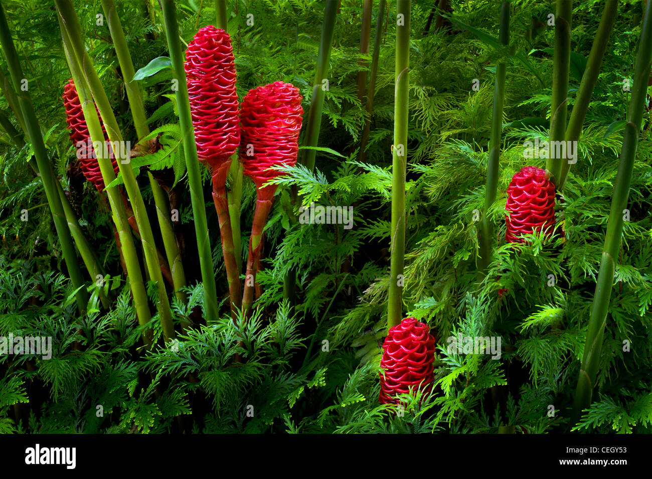 Ginger flowers stock photos ginger flowers stock images alamy beehive ginger zingiber spectabile hawaii tropical botanical gardens hawaii the big island izmirmasajfo