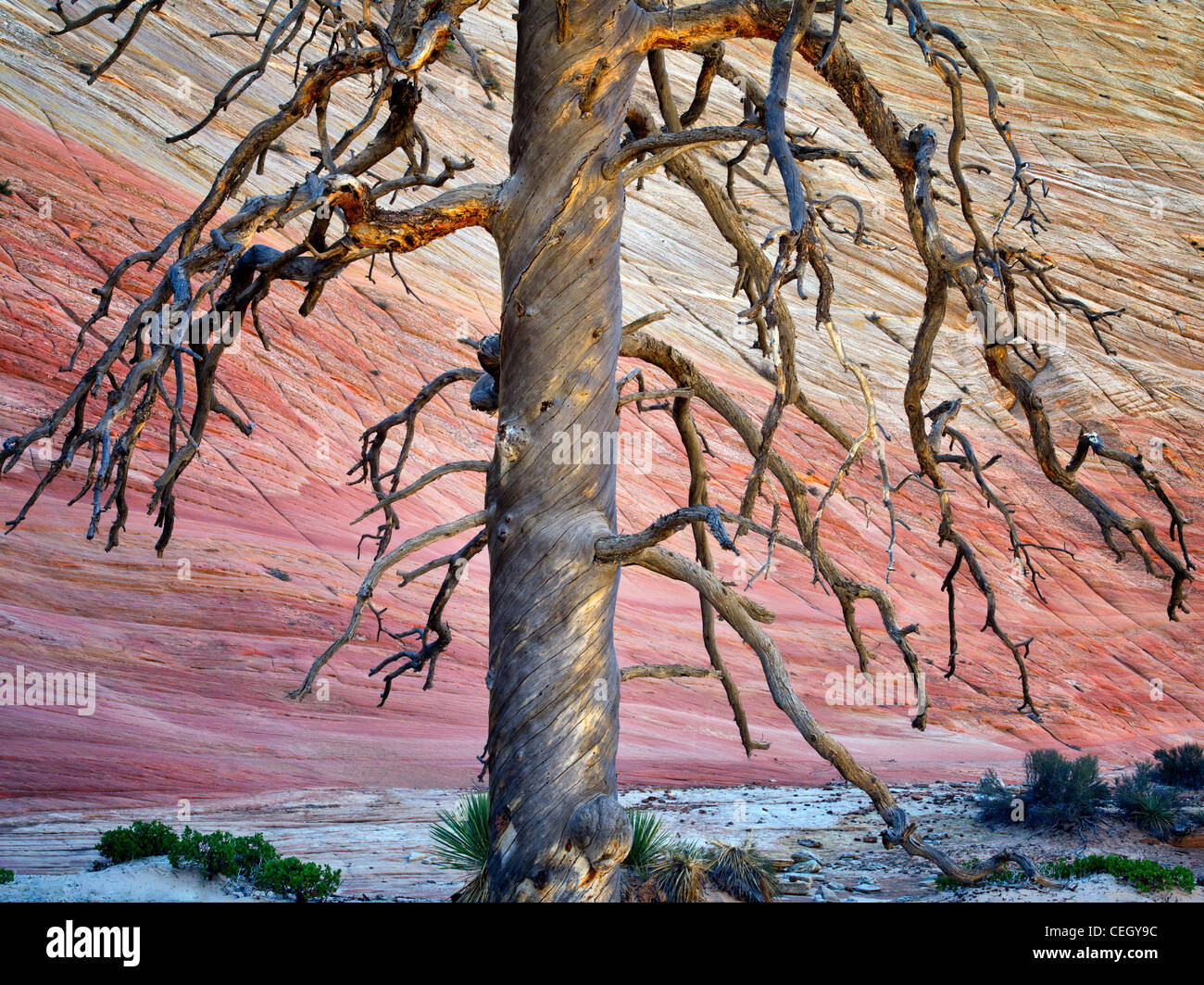 Dead ponderosa pine tree and Checkerboard Mesa. Zion National Park, Utah. - Stock Image