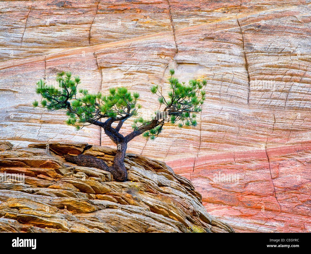 Bonsai ponderosa pine tree struggling to survive and Cherboard Mesa. Zion National Park, Utah. - Stock Image