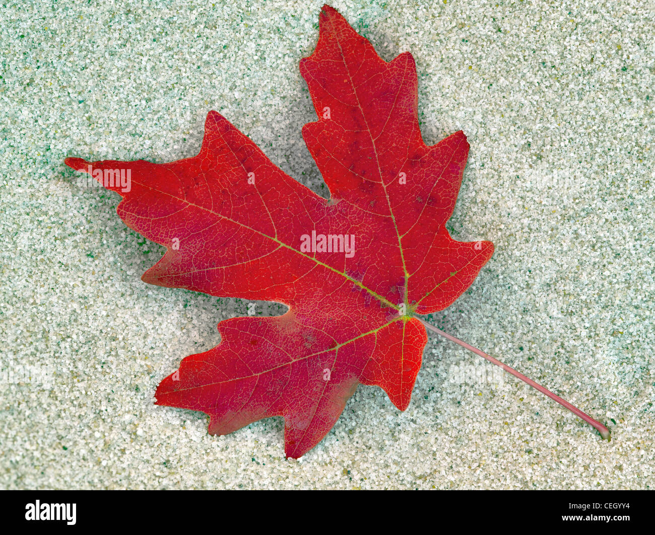 Close up of bigtooth maple leaves in fall color. Zion National Park, Utah Stock Photo