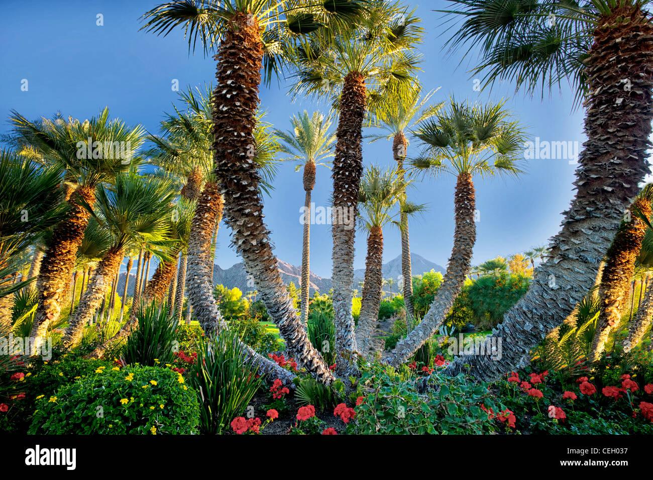 Charming Palm Trees In Garden. Palm Desert, California