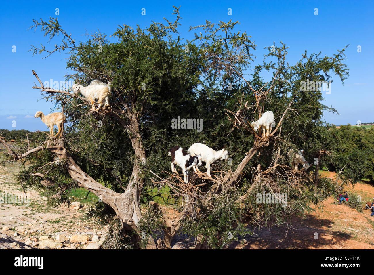 Goats climbing an Argan tree near Essaouira, Morocco, North Africa - Stock Image