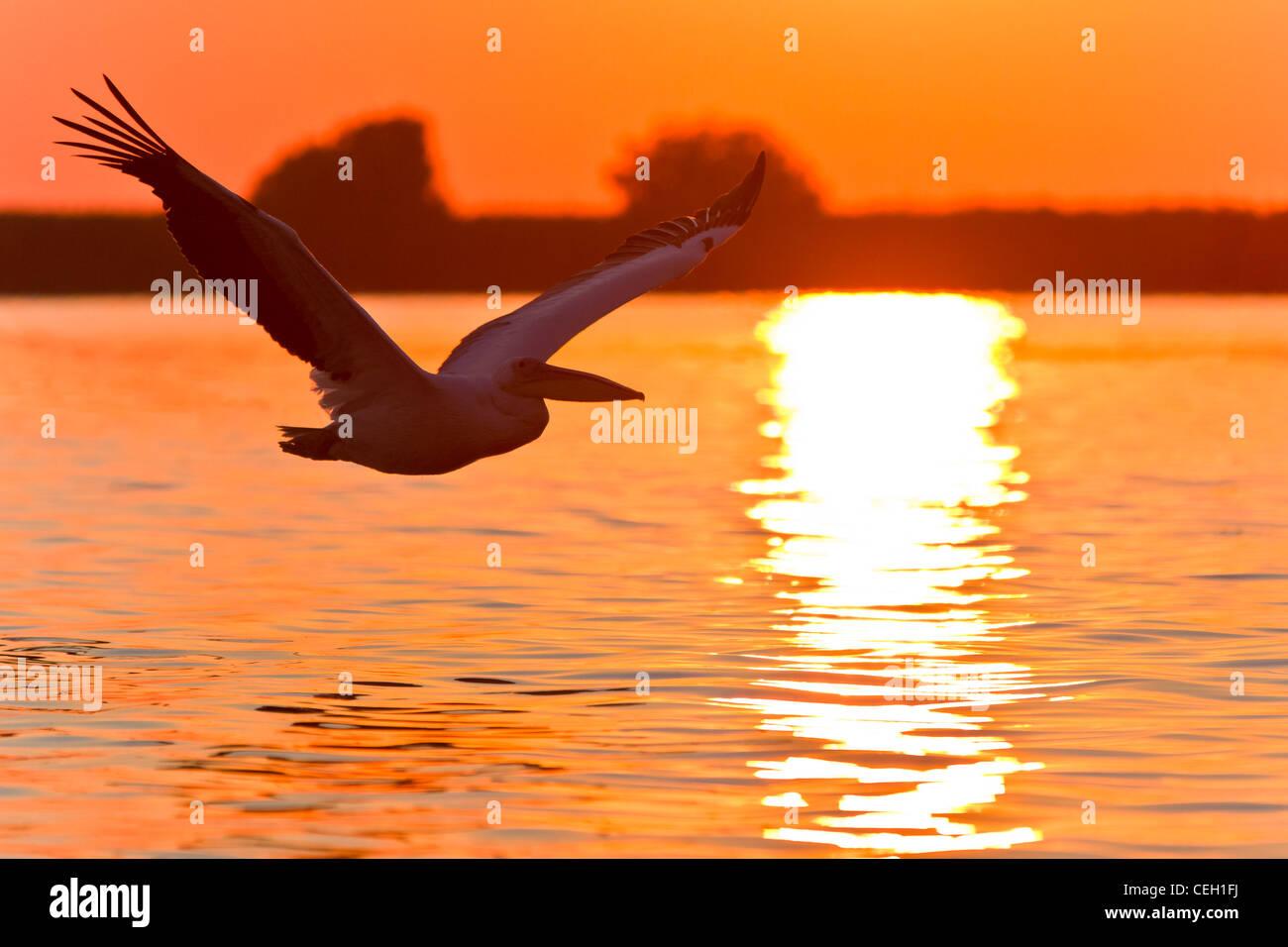 pelican in flight - Stock Image