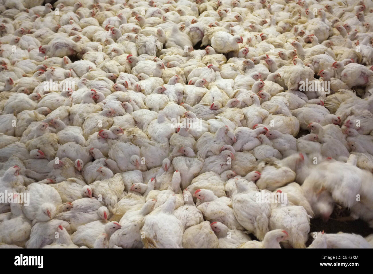 Chickens for meat in an intensive farming environment Stock Photo ...