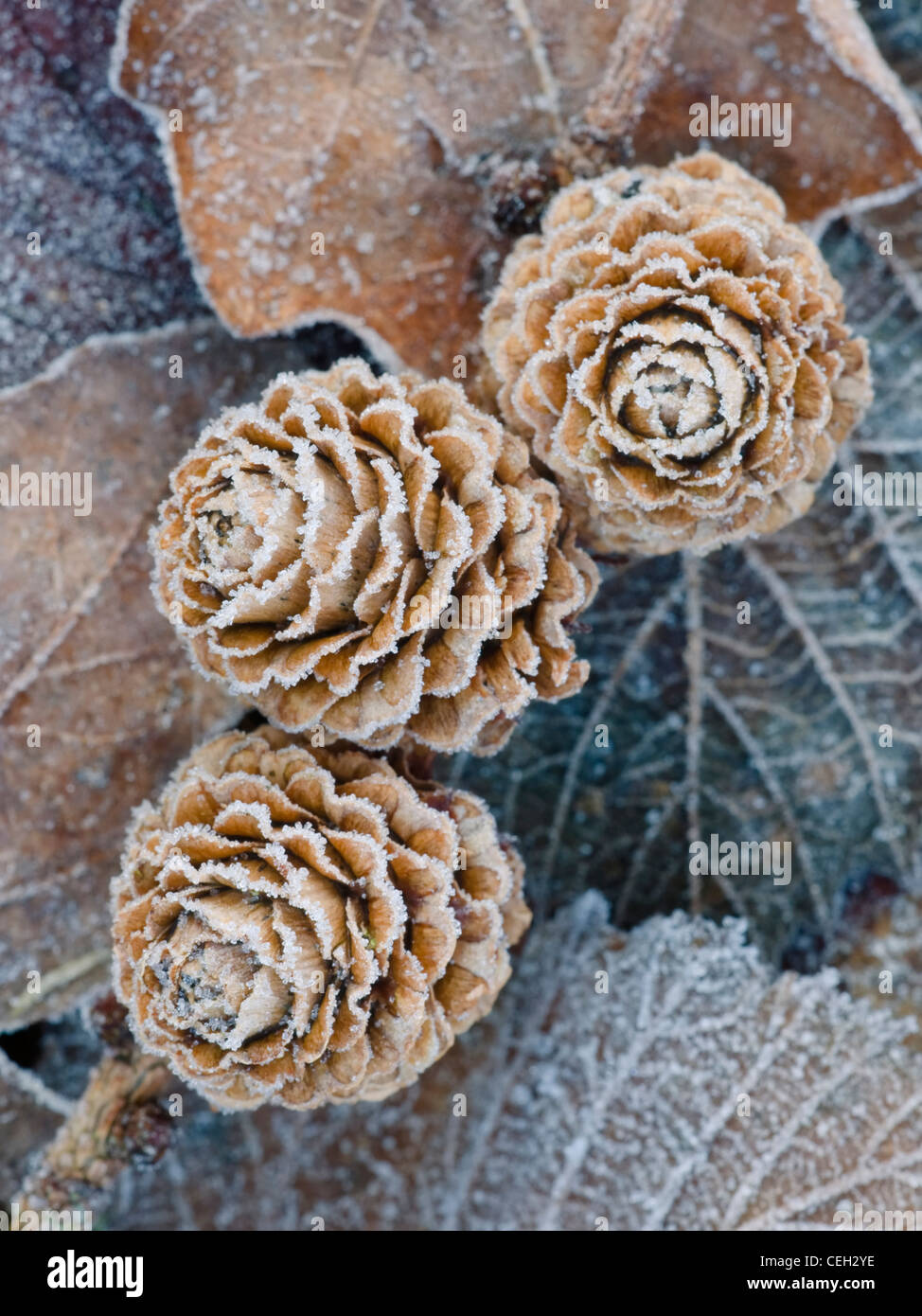 Frosted Larch cones - Stock Image