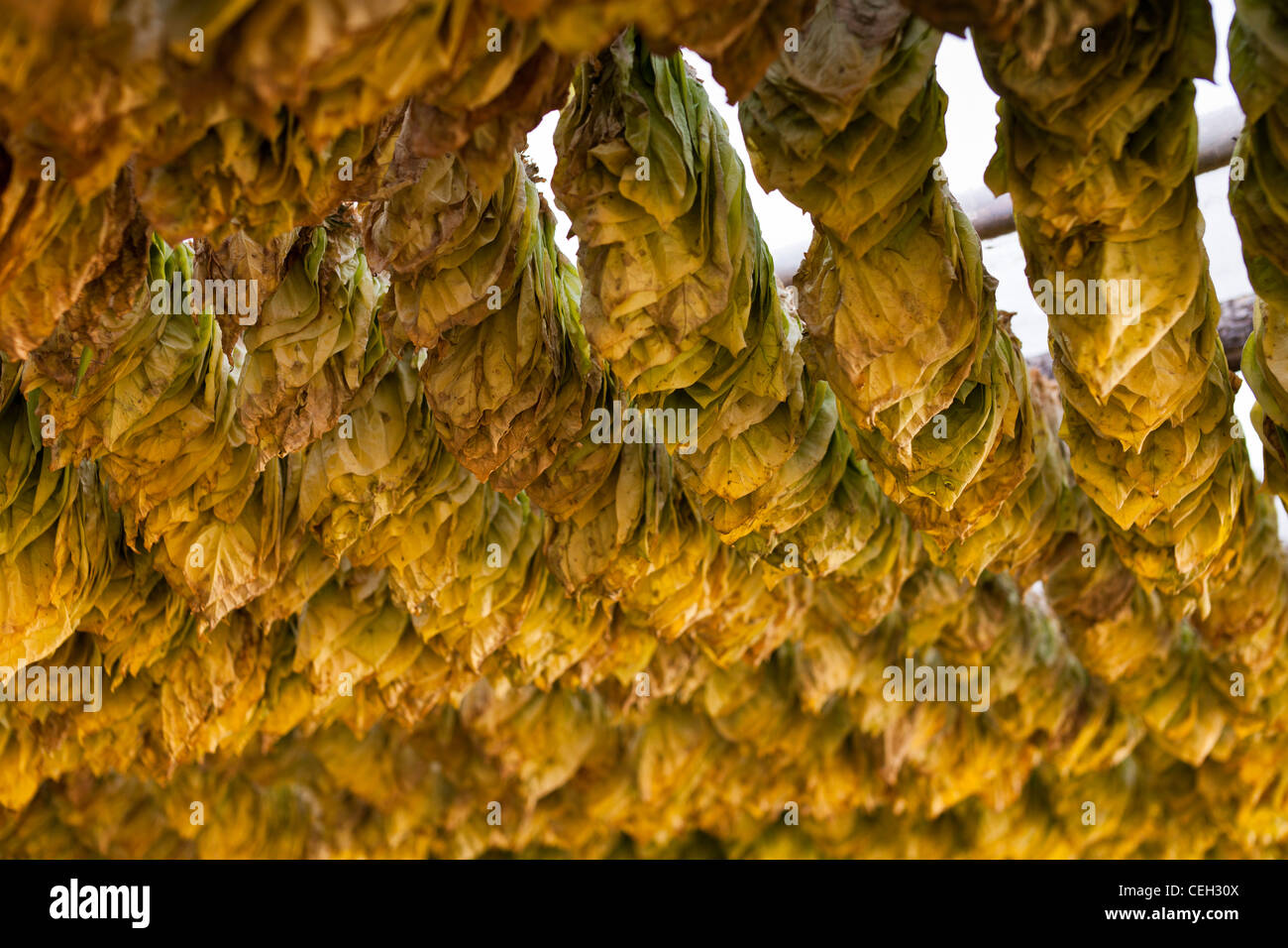 Tobacco farming. Tobacco (Nicotiana sp.) leaves drying in the shade. - Stock Image