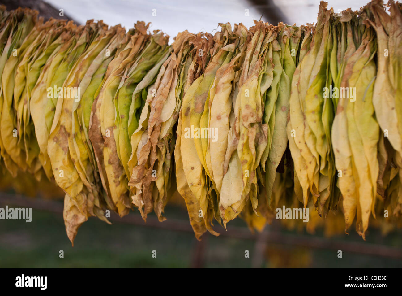 semi dry air cured tobacco leaves{NICOTIANA sp.) - Stock Image