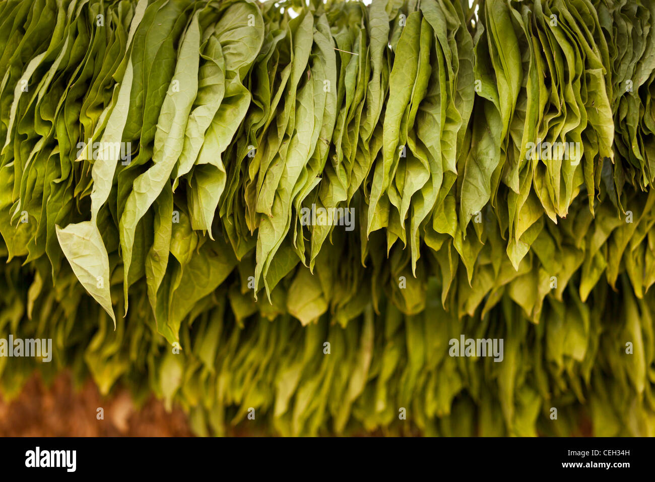 `green tobacco leaves,hanged up to dry Nicotiana sp. - Stock Image