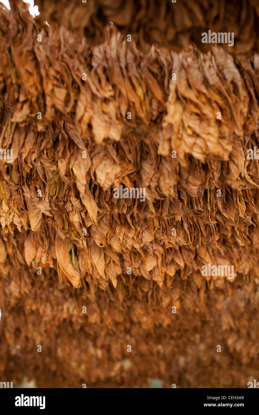 Tobacco farming. Tobacco (Nicotiana sp.) leaves drying in the shade. Tobacco leaves are ready for harvesting and - Stock Image
