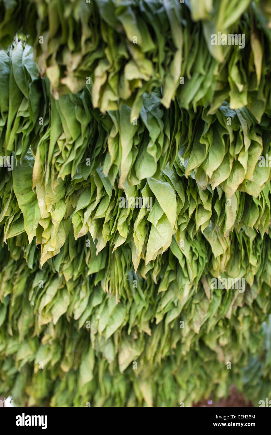 Tobacco farming. Tobacco (Nicotiana sp.) leaves drying in the shade - Stock Image
