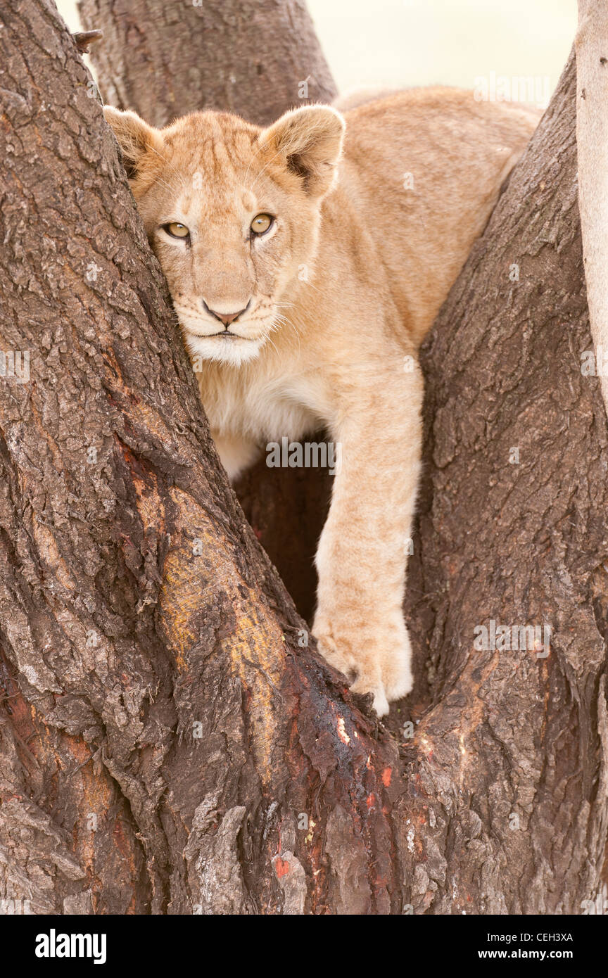 Lion Cub in Tree - Stock Image