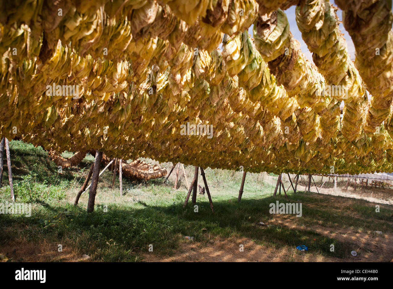 Tobacco leaves drying-out in the shade - Stock Image