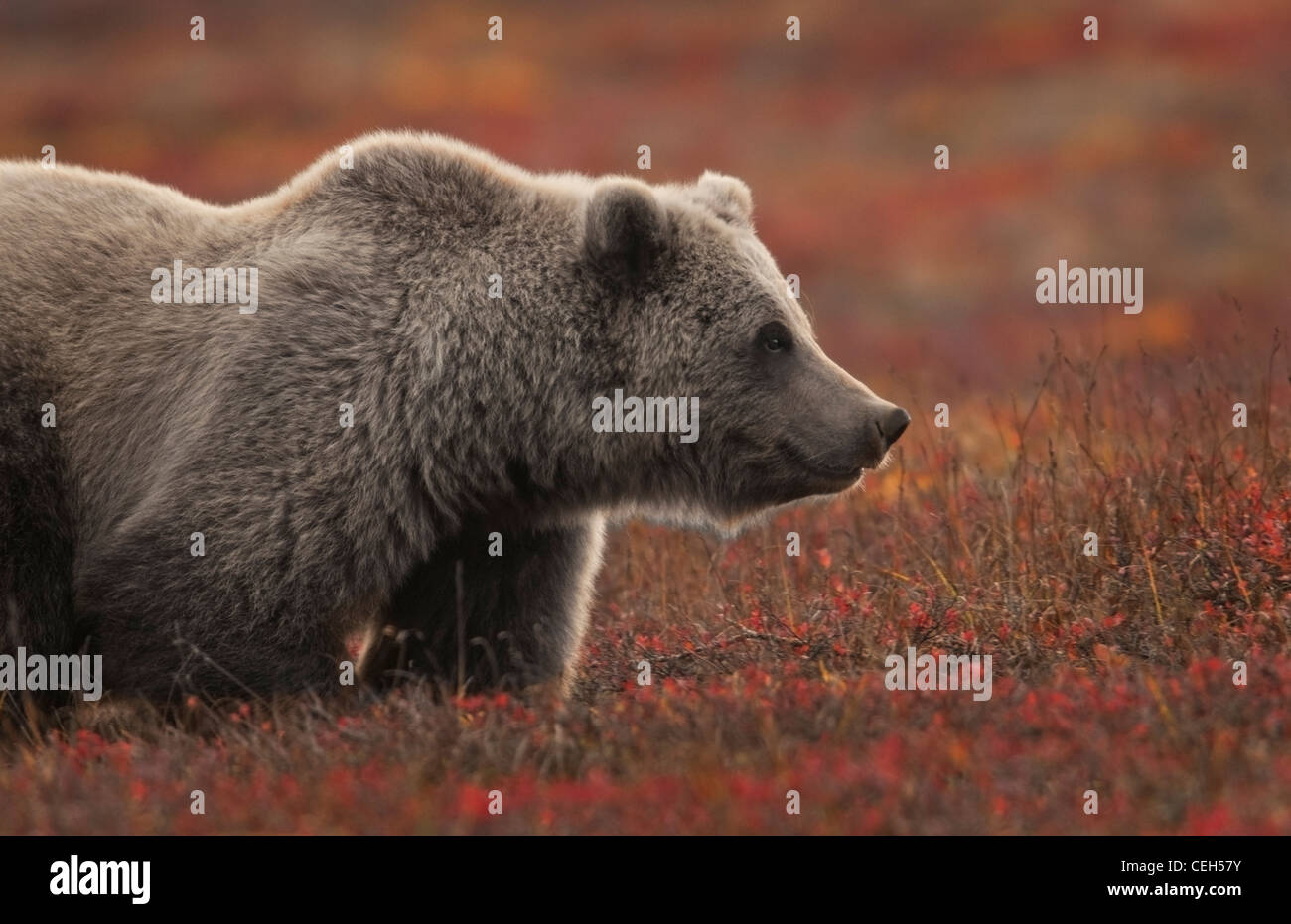 Grizzly (Ursus arctos) bear, forages in the fall tundra, Denali National Park, Alaska - Stock Image