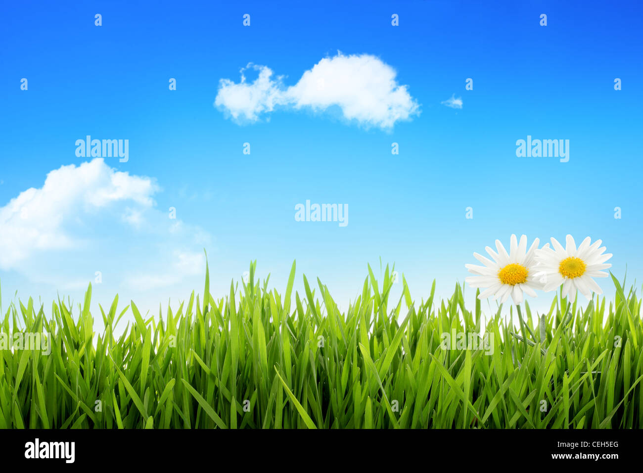 White daisy in grass against blue sky - Stock Image