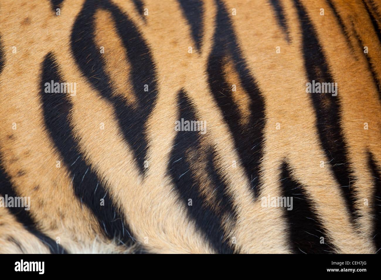 Bengal Tiger Panthera tigris tigris showing stripes - Stock Image