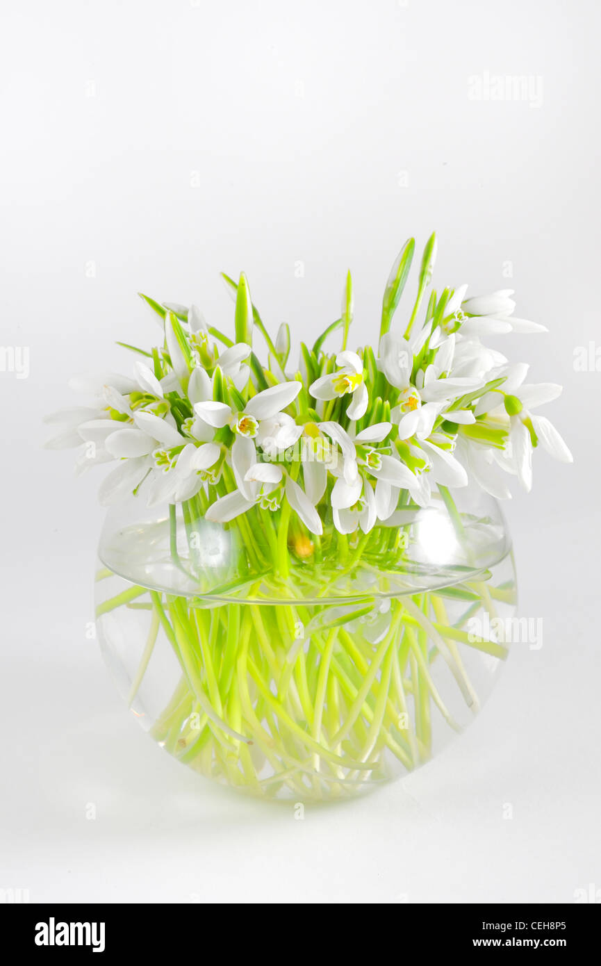 Bunch of snowdrops in transparent vase - Stock Image