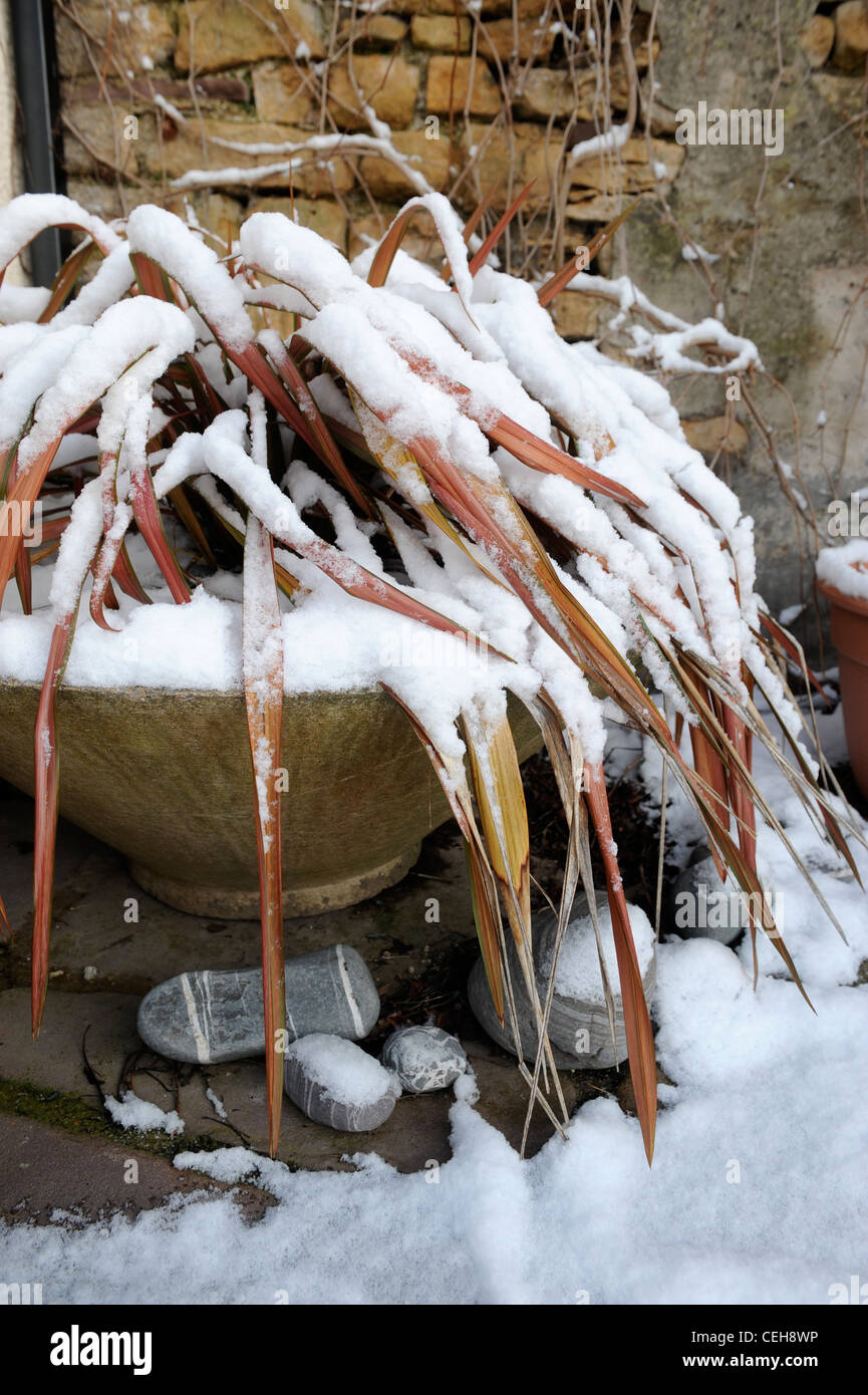 A Phormium plant covered with snow on a patio garden UK - Stock Image
