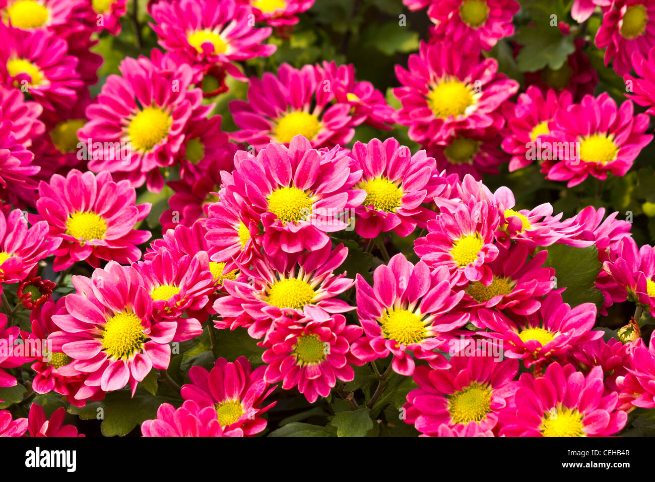 Pink Daisy Flowers In The Garden Background Stock Photo 43407863