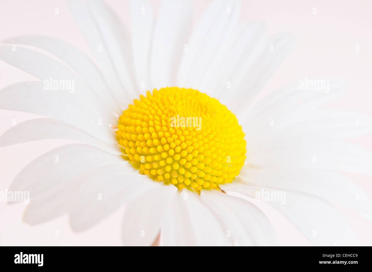 Close up studio shot of Dog daisy - Stock Image