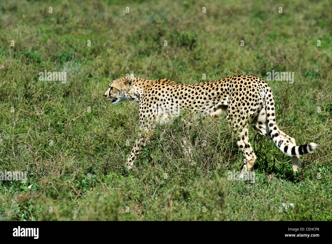 Cheetah (Acinonyx jubatus) resting after a hunt on the plains at Ndutu in Ngorongoro Conservation Area - Tanzania - Stock Image