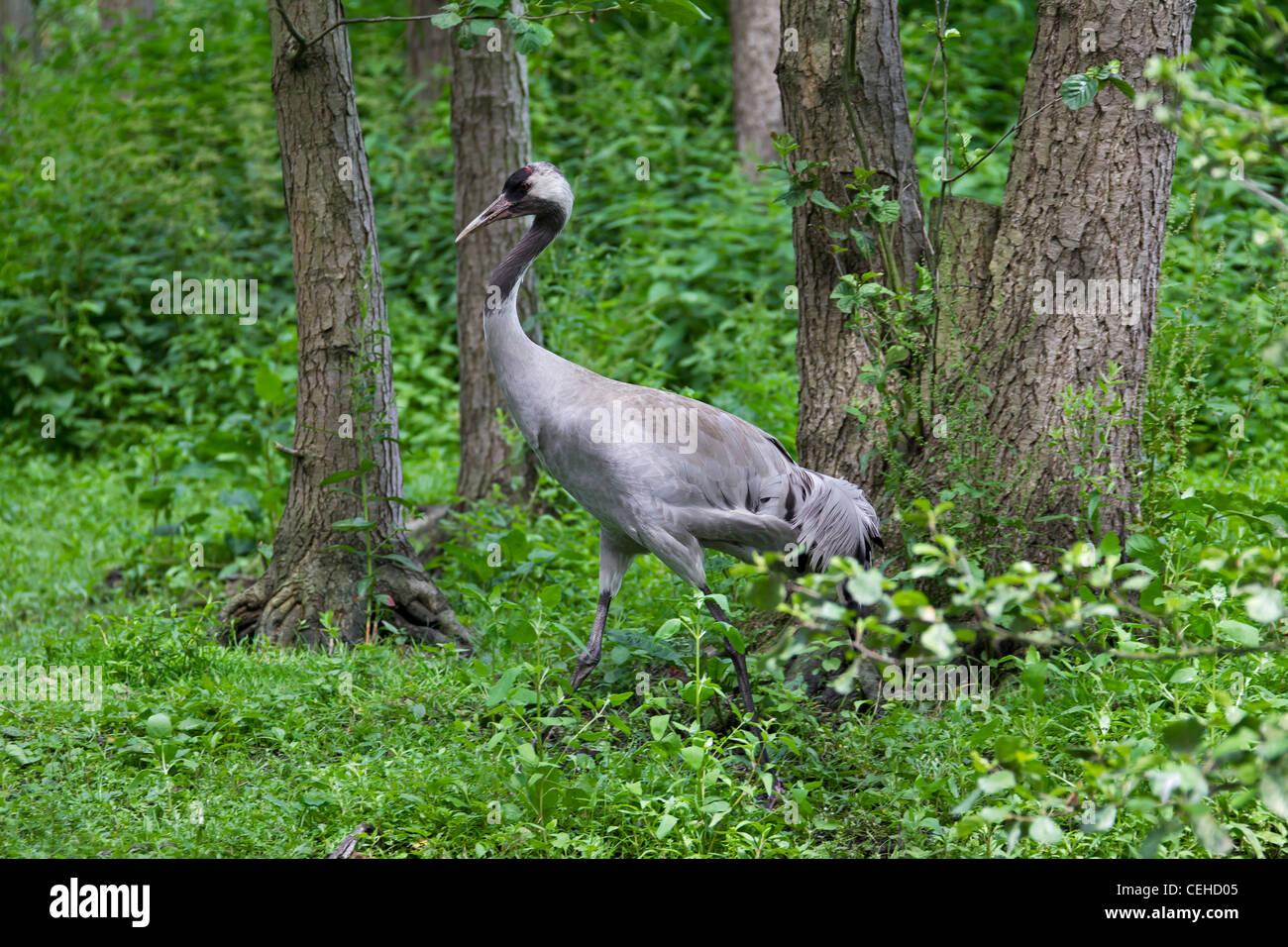Eurasian Crane (Grus grus) in marshland, Germany - Stock Image