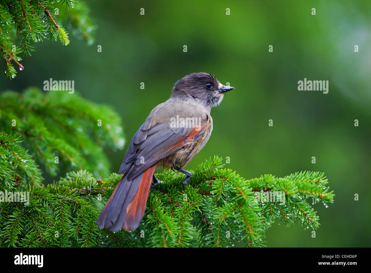Siberian Jay (Perisoreus infaustus) perched in spruce tree, Sweden - Stock Image