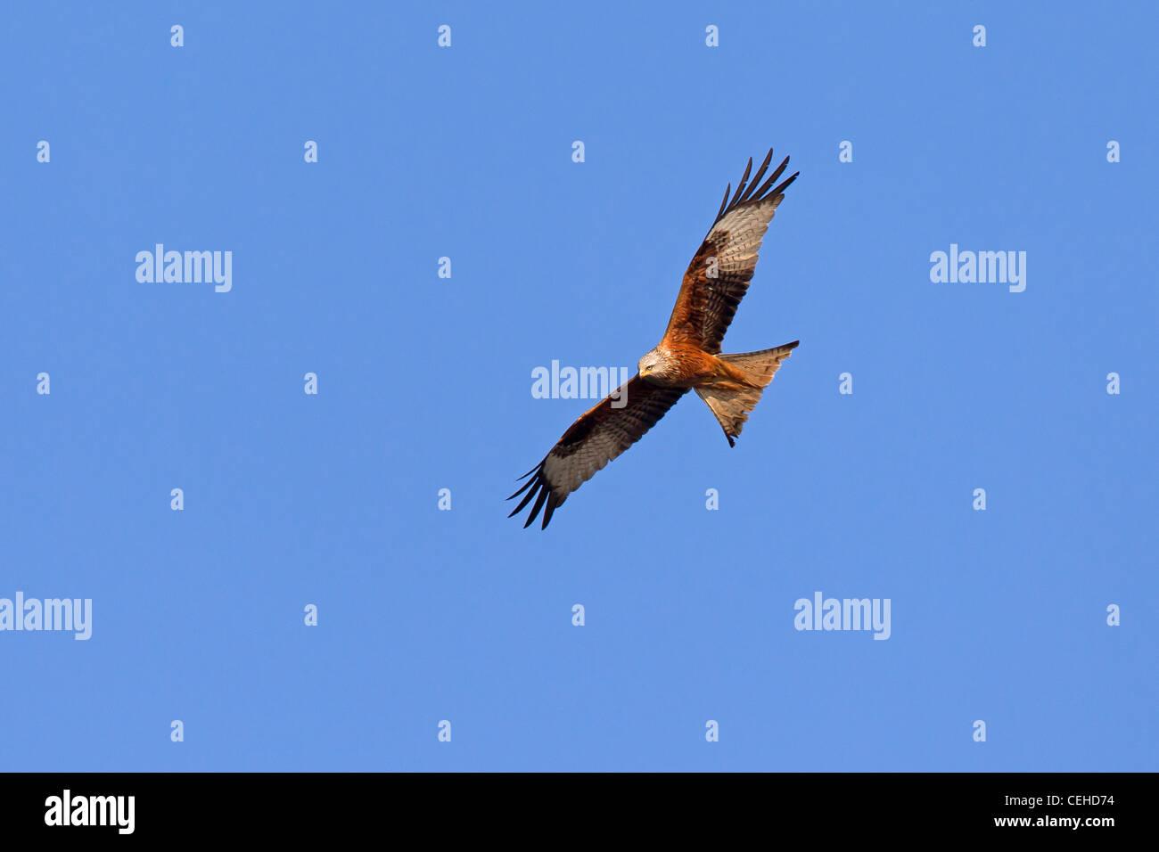 Red Kite (Milvus milvus) in flight - Stock Image