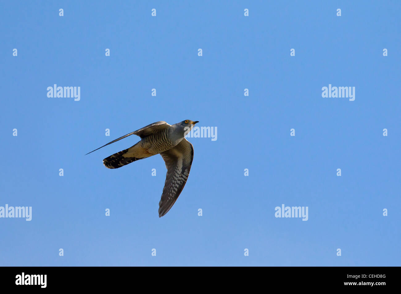 Common Cuckoo (Cuculus canorus) in flight, Germany Stock Photo
