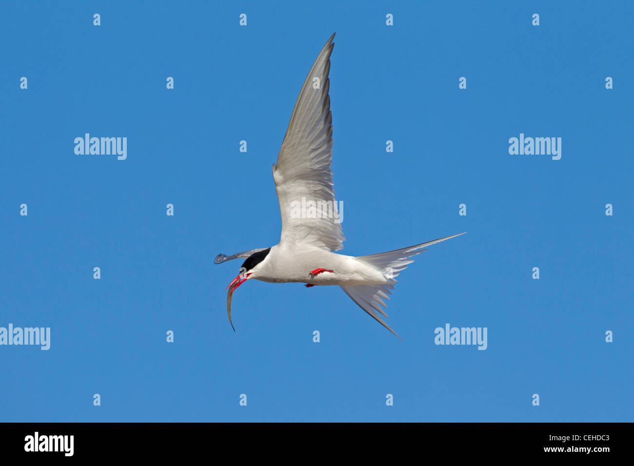 Arctic Tern (Sterna paradisaea) in flight with fish in beak, Wadden Sea, Germany - Stock Image