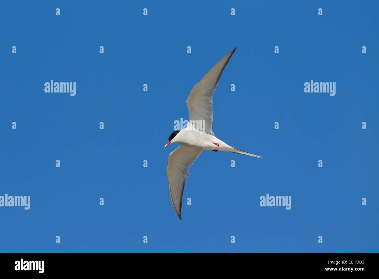 Arctic Tern (Sterna paradisaea) in flight, Wadden Sea, Germany - Stock Image
