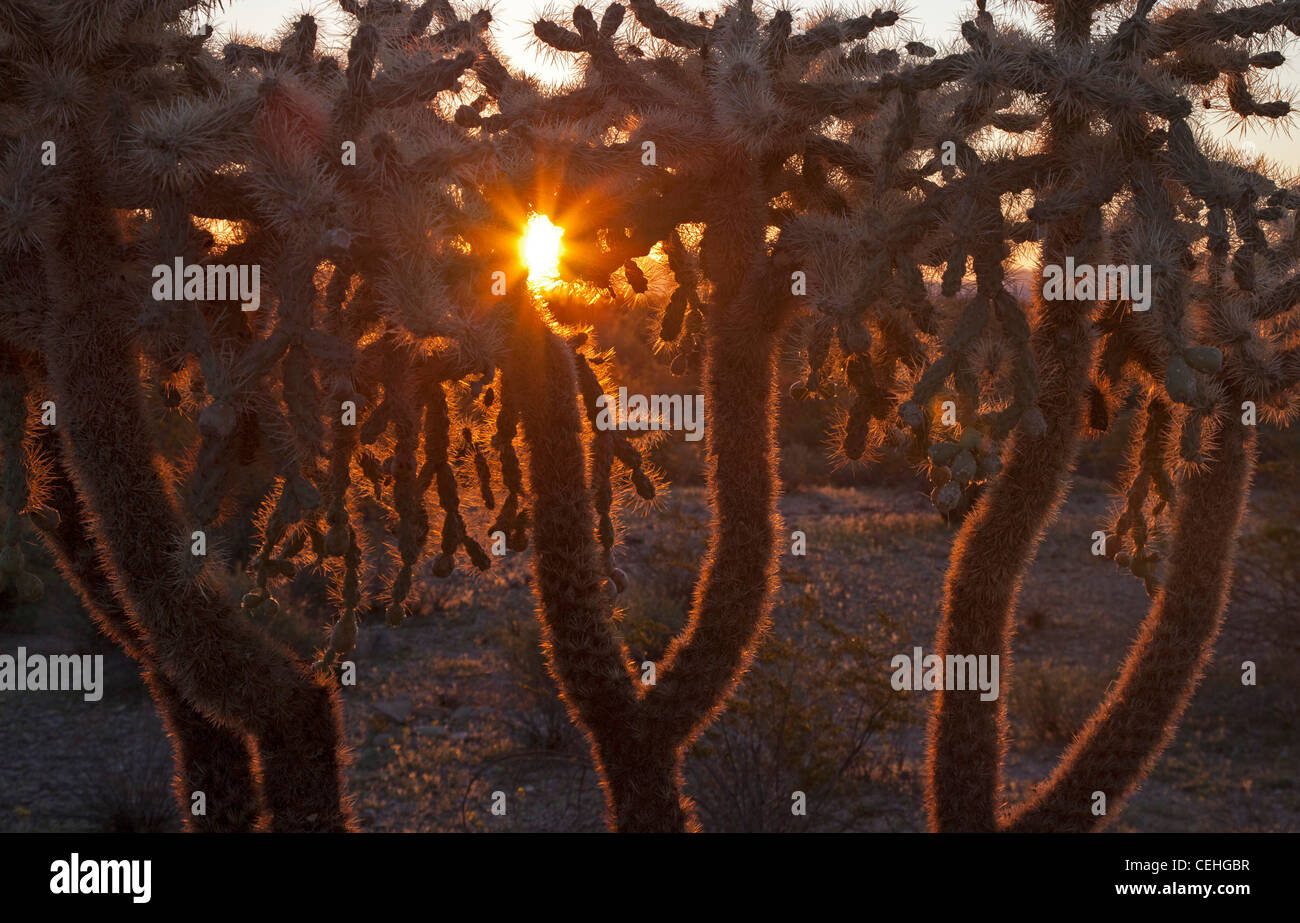 Ajo, Arizona - Chain-fruit cholla cactus in Organ Pipe Cactus National Monument. This plant is also called the jumping - Stock Image