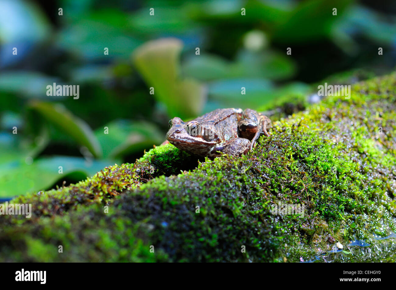 Common Frog (Rana temporaria) on side of moss-covered garden pond - Stock Image