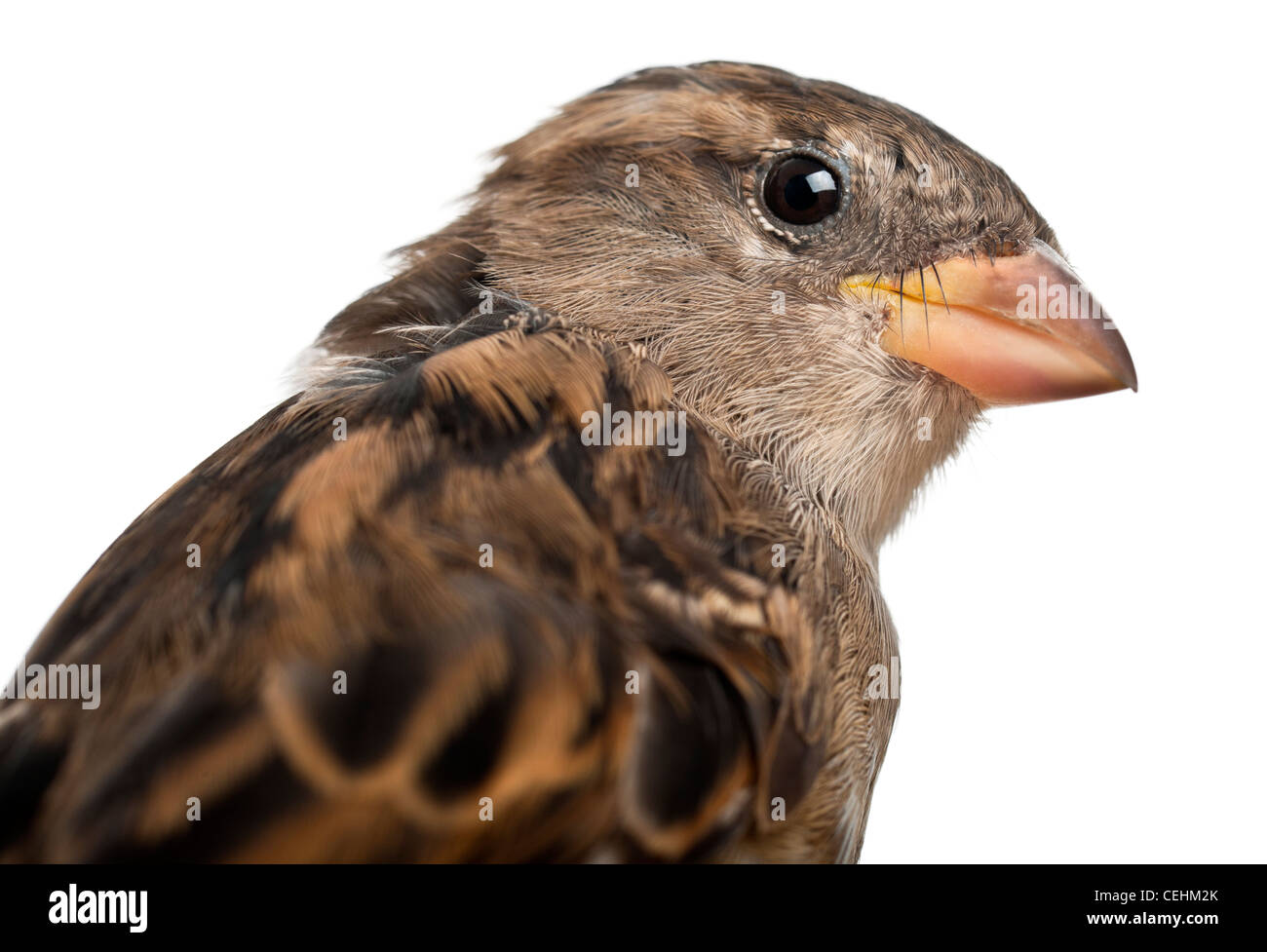 Close-up of female House Sparrow, Passer domesticus, 4 months old, in front of white background - Stock Image