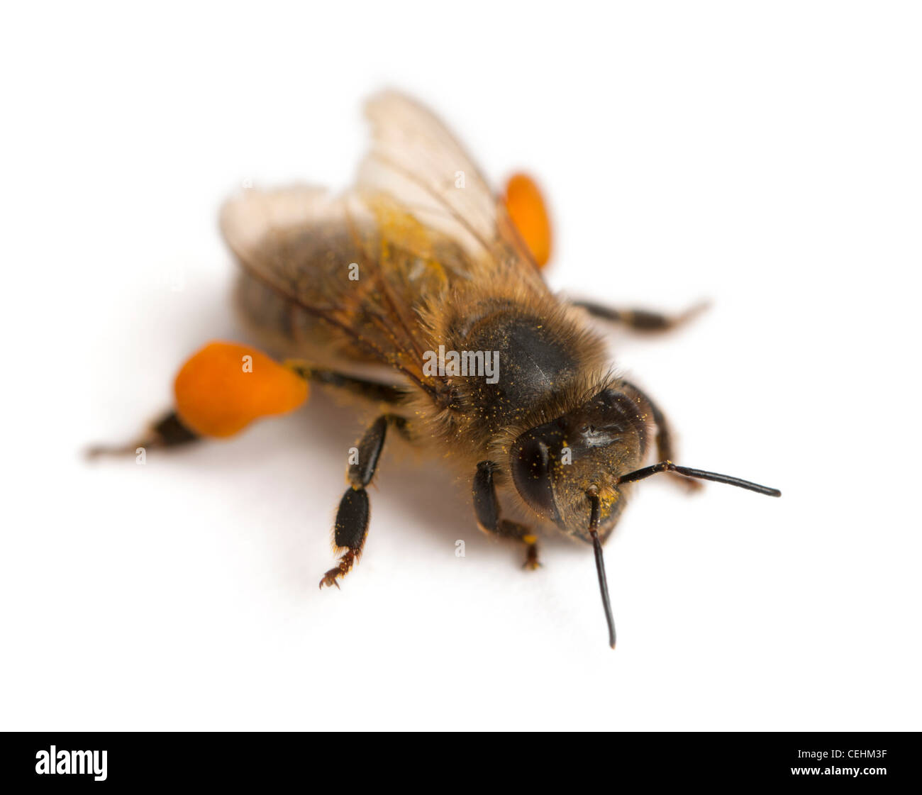 Western honey bee or European honey bee, Apis mellifera, in front of white background - Stock Image