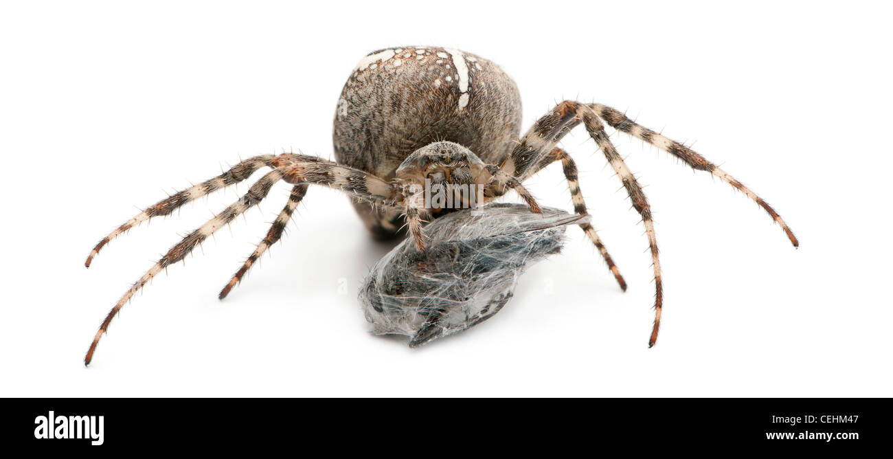 Spider, Araneus diadematus, eating a fly against white background - Stock Image